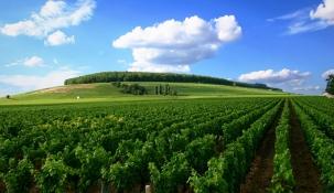 Vineyeards, Burgundy