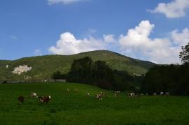 Cows grazing, Nans-sous-Sainte-Anne, Franche-Comté, France