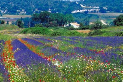 Poppies & Lavender fields, Provence, France