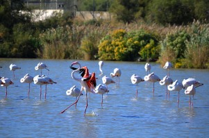 Pink Flamingos, Saintes-Maries-de-la-Mer, Camargue, France from http://www.saintesmaries.com/en/