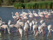 Pink Flamingos, Saintes-Maries-de-la-Mer, Camargue, France
