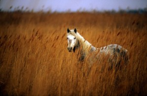 White Camargue wild horse, Saintes-Maries-de-la-Mer, Camargue, France from http://www.saintesmaries.com/en/